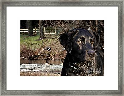 Where's The Geese Labrador 4 Framed Print