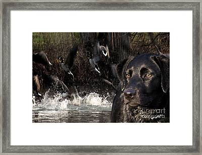 Where's The Geese Labrador 6 Framed Print by Cathy  Beharriell