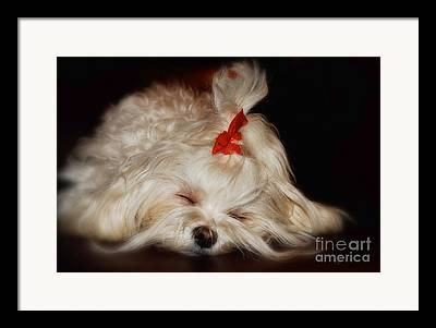 Sleeping Maltese Framed Prints
