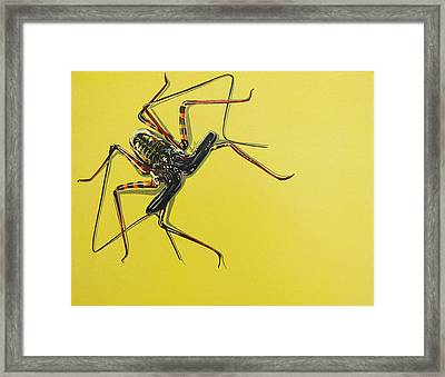 Whip Scorpion Framed Print by Jude Labuszewski