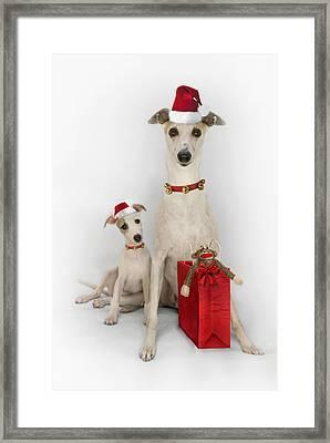 Whippet Christmas Framed Print by John Clum
