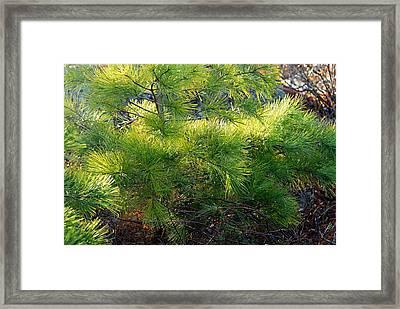 Whispering Pines Framed Print by Larry Ricker