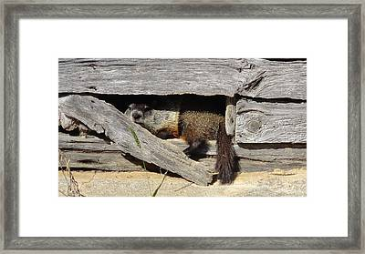 Whistle Pig Watching Framed Print by Michael Hoover