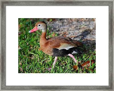 Whistling Duck Framed Print by Christine Savino