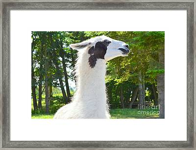 White Alpaca Framed Print by Mary Deal