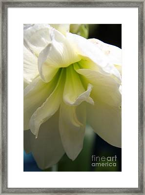 White Amarillys Close Up Framed Print