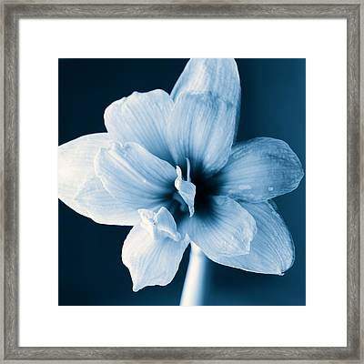 White Amaryllis Flower In Black And White In Blue Tones Framed Print by Andy Smy