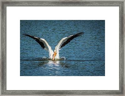 White American Pelican Framed Print by Pamela Williams