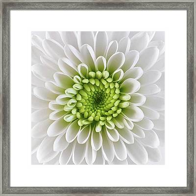 Framed Print featuring the photograph White And Green  Chrysanthemum by Jim Hughes