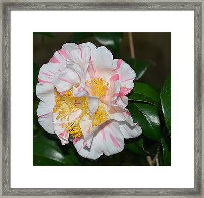 White And Pink Camellia Framed Print by Aimee L Maher Photography and Art Visit ALMGallerydotcom