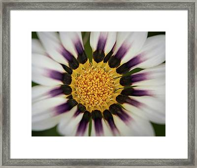 White And Purple Zinnia With Yellow Framed Print