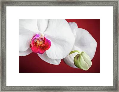White And Red Orchids Framed Print