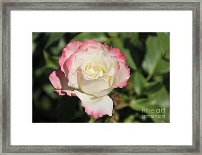 White And Red Rose 3 Framed Print by Rudolf Strutz