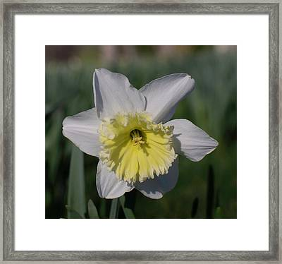 White And Yellow Daffodil Framed Print