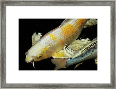 White And Yellow Yamabuki Hariwake Butterfly Koi Fish At Night W Framed Print by Reimar Gaertner