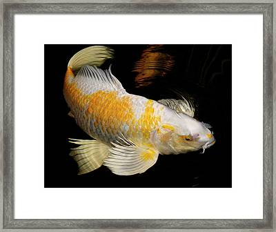 White And Yellow Yamabuki Hariwake Butterfly Koi Fish Swimming A Framed Print by Reimar Gaertner