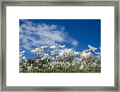 White Anemones At Blue Sky Framed Print