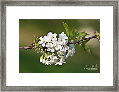 White Apple Blossoms Framed Print