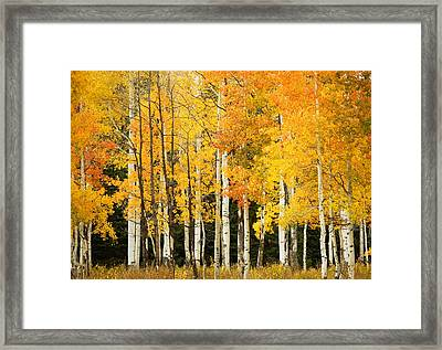 White Aspen Trunks Framed Print