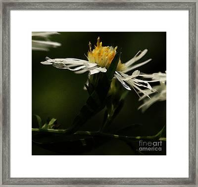 White Aster Framed Print by Linda Shafer