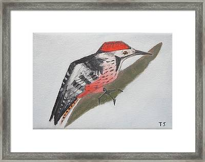 White-backed Woodpecker Framed Print