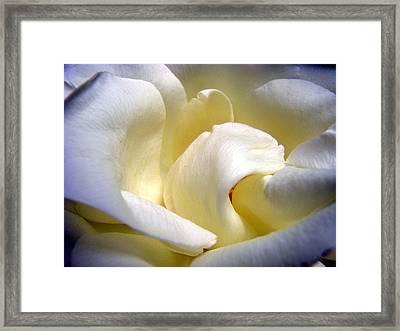 White Beauty Rose Framed Print