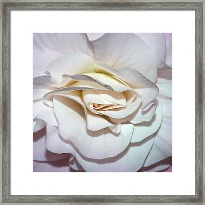 White Begonia Framed Print by Robert Shard