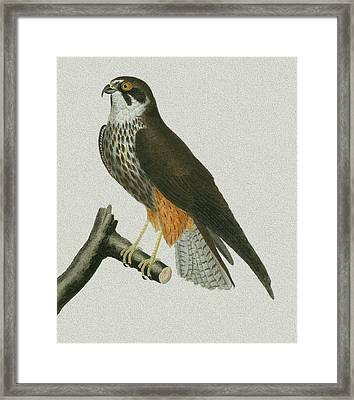White Bellied Falcon Framed Print by Michelle Halsey