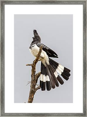 White-bellied Go-away Bird Framed Print by Panoramic Images