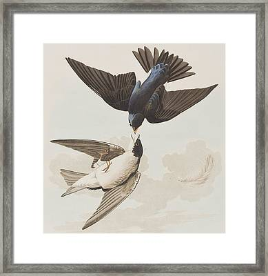 White-bellied Swallow Framed Print by John James Audubon