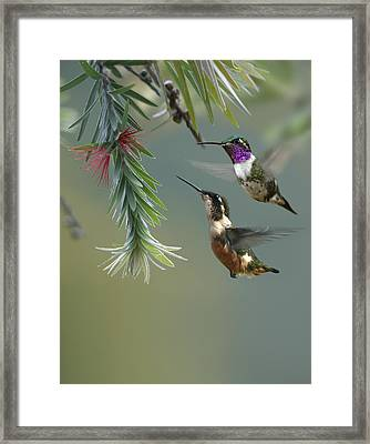 White Bellied Woodstar Hummingbird Male Framed Print