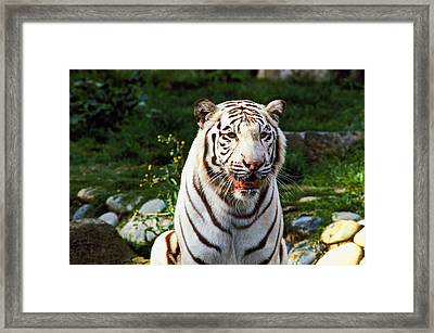 White Bengal Tiger  Framed Print by Garry Gay