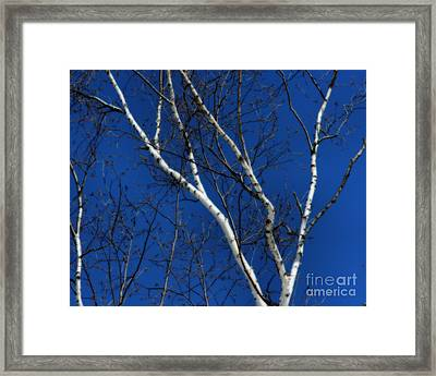 White Birch Blue Sky Framed Print