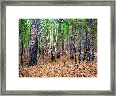 White Birches In The Forest Framed Print