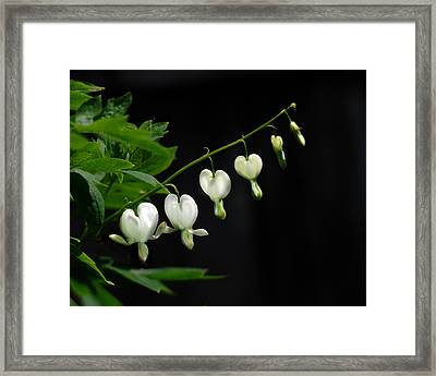 Framed Print featuring the photograph White Bleeding Hearts by Susan Capuano