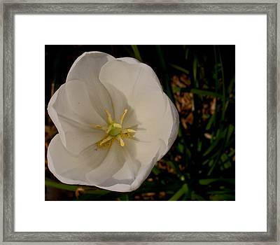 White Bloom Framed Print by Martin Morehead