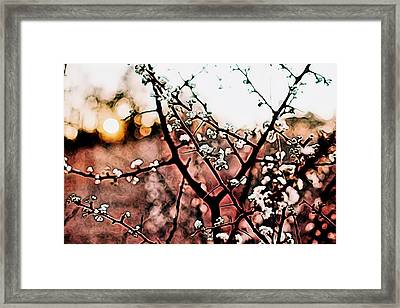 White Blossom Branches Framed Print by Carol Crisafi