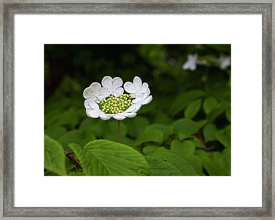 White Blossom Framed Print by Robert Ullmann