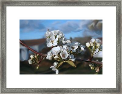 White Blossoms Framed Print by Robert Bewick