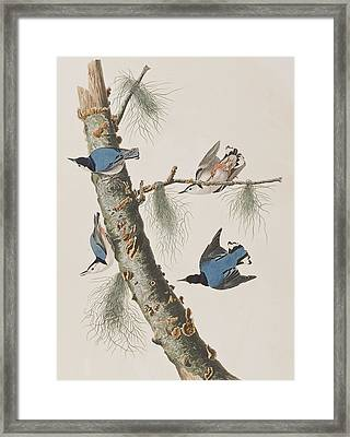 White-breasted Black-capped Nuthatch  Framed Print by John James Audubon