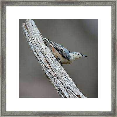 White Breasted Nuthatch 1 Framed Print by Todd Hostetter