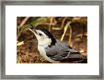 White Breasted Nuthatch 2 Framed Print
