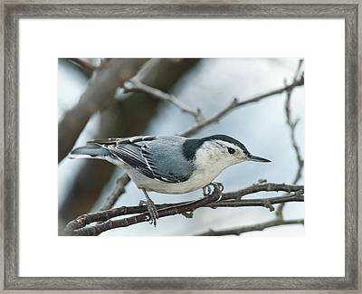 Framed Print featuring the photograph White Breasted Nuthatch 2017 2 by Lara Ellis
