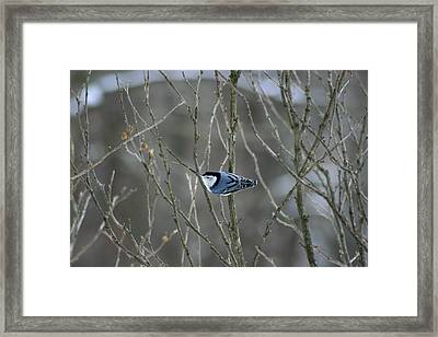White Breasted Nuthatch 3 Framed Print by George Jones