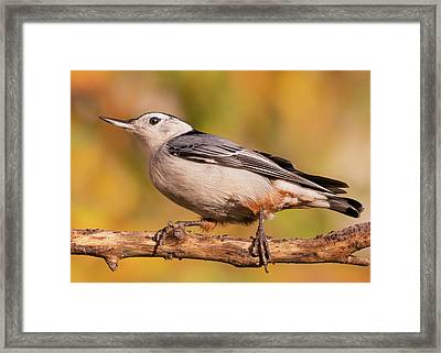 White-breasted Nuthatch In Autumn Framed Print by Jim Hughes