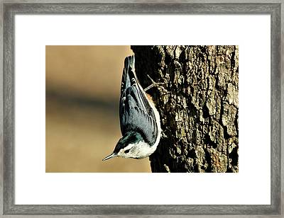 White-breasted Nuthatch On Tree Framed Print