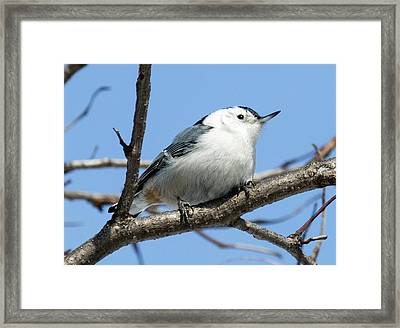 Framed Print featuring the photograph White-breasted Nuthatch Perched by Ricky L Jones