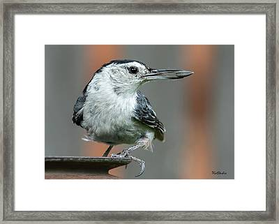 White-breasted Nuthatch With Sunflower Seed Framed Print