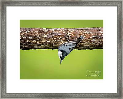 Framed Print featuring the photograph White-breasted Nuthatches by Ricky L Jones