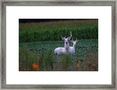 White Bucks Framed Print